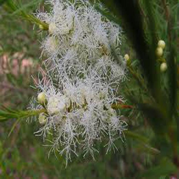 Strom čajovniku ( Tea tree ) semínka cca 30 ks