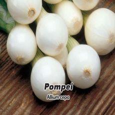 Cibuľa jarná- Pompei- semena- 1,5 g