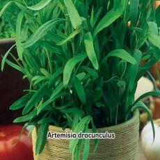 Pelyněk kozelec Estragon - semínka 0,2 g