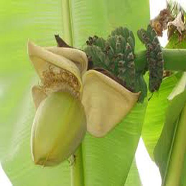 Banánovník Basjoo (rastlina: musa glaucum) - 5 ks semien **