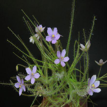 Byblida (byblis liniflora) 1- semínka 5 ks