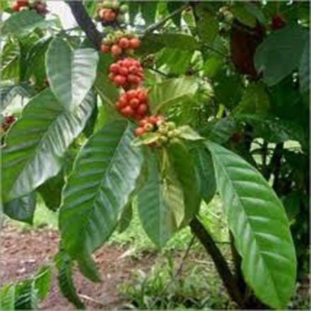 Kávovník arabský - Nana - semínka 5 ks