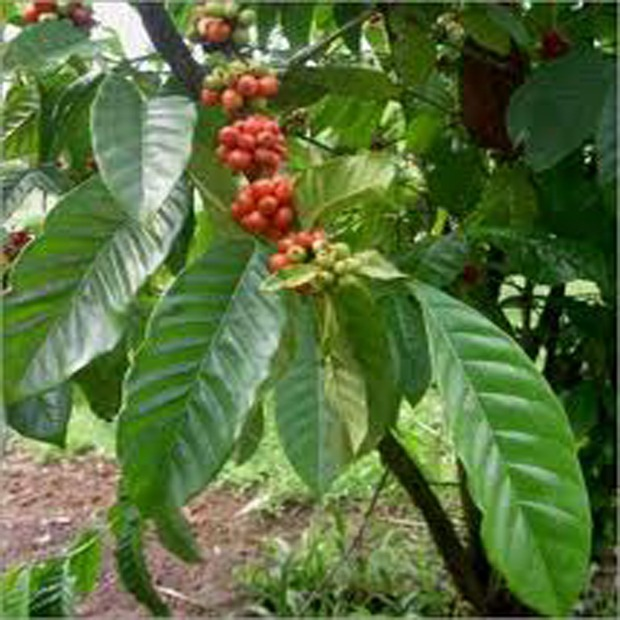 Kávovník arabský - Nana (rastlina: coffea arabica) - 5 ks semien