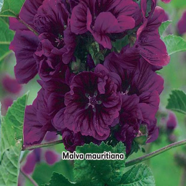 Slez maurský (rastlina: Malva mauritiana) - semena slezu 1,2g