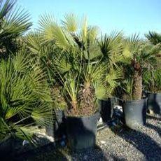 Palma Evropská semínka 2 ks