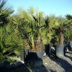 Indický Bambus (rastlina: Bambusa balcooa) - semená 3 ks