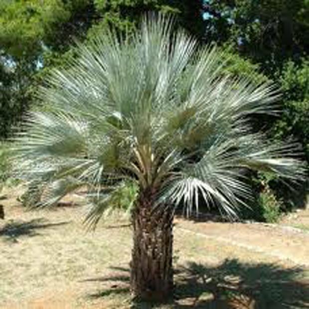 Palma Braheova (rastlina: brahea armata) - 2 semená
