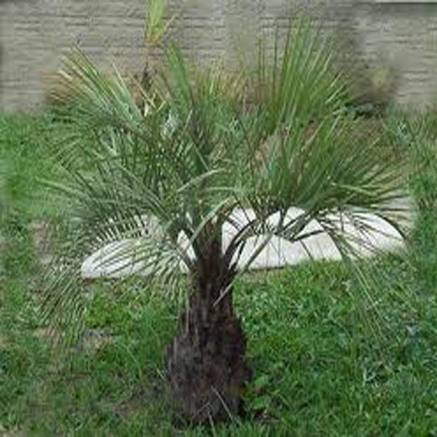 Palma Jelly (rastlina: Buti catarinensis) - 2 semená