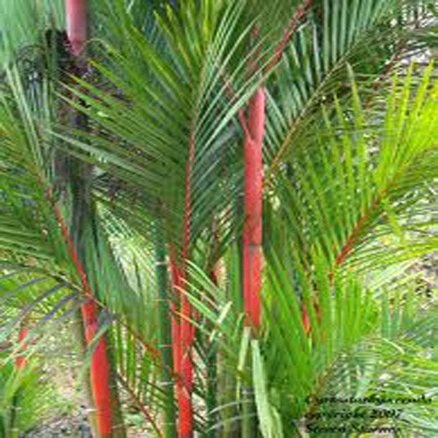 Palma Oranžová semínka 2 ks