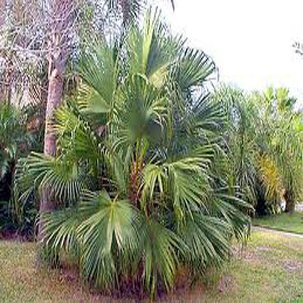 Palma Čínska (rastlina: Livistona chinensis) - semená 2ks
