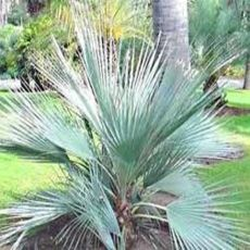 Palma Strieborná (rastlina: Nannorrhops arabica) - 3 semená