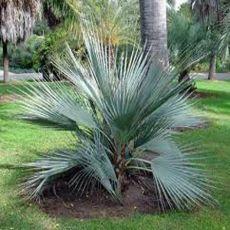 Palma Pakistanská (rastlina: Nannorrhops ritchiana) - 3 semená