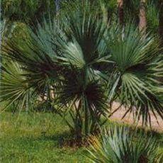 Trpasličí palma - semínka 3 ks