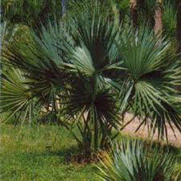 Palma Trpasličia (rastlina: Sabal minor) - 3 semená