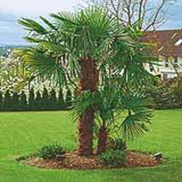 Palma Konopná (rastlina: Trachycarpus fortunei) - 3 semená