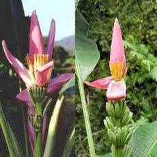Banánovník růžový ( Musa ornata ) 5 semen