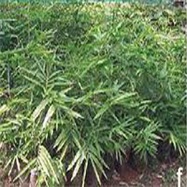 Nutuv Bambus ( Bambusa nutans) 3 semena