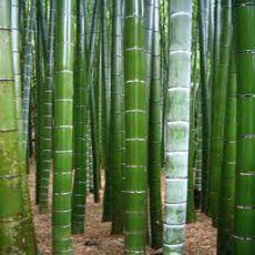 Kráľ Bambusov (rastlina: Phyllostachys pubescens) - 3 semená bambusu