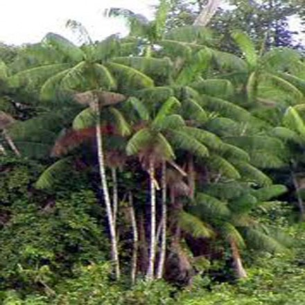 Palma Akai - semínka 3 ks