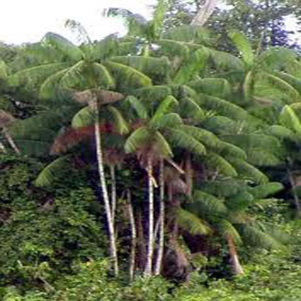 Palma Akai (rastlina: euterpe oleracea) - 3 semená palmy