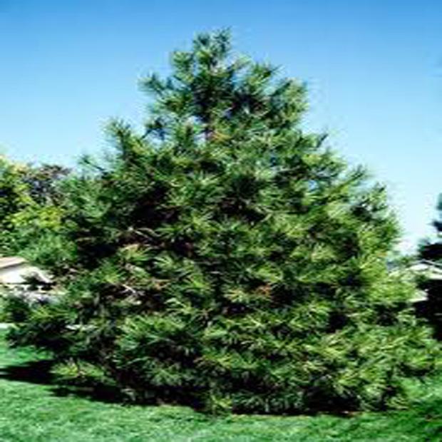 Pinus ponderosa - Borovica ťažká (žltá) - 7 semen