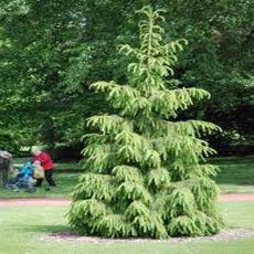 Smrek Tibetský (rastlina: Picea smithiana) - cca 10 semien smreka