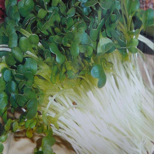Zdravé klíčky - Reďkovka (rastlina: Raphanus sativus) - Bio klíčky - semená 40g
