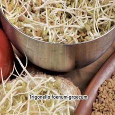 Pískovice řecká seno 1,- semínka 5 g