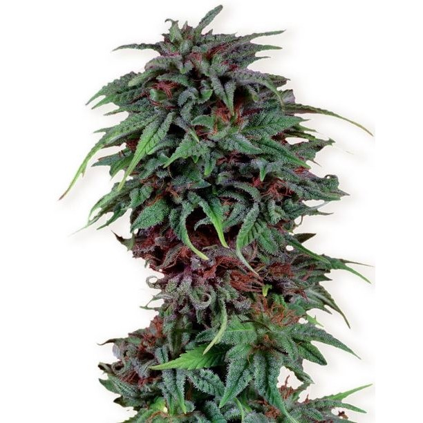 Durban Poison - feminizovaná semínka 5ks Dutch Passion