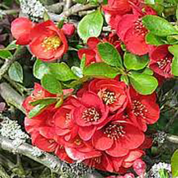 Japonský dulovec (rastlina: Chaenomeles japonica) 5 semien