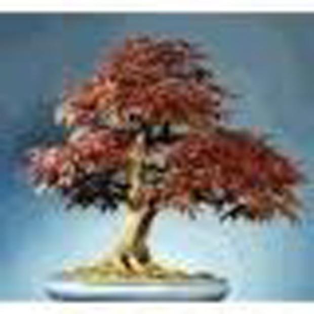 Červený javor (rastlina: Acer rubrum) 5 semien