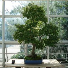 Javor (rostlina: Acer oblongum) - semínka 5 ks