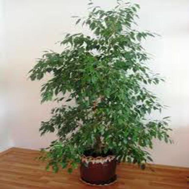 Fikus (rastlina: Ficus benjamina) 5 semien