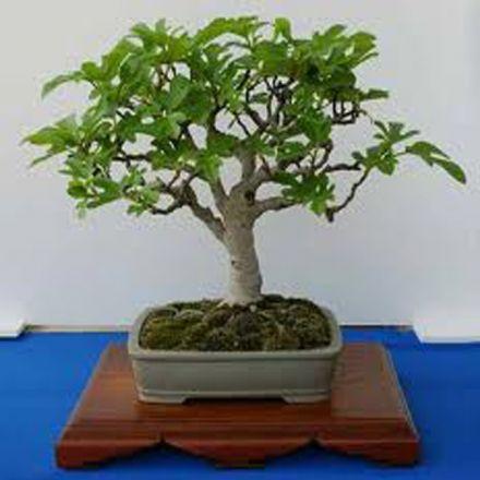 Fíkovník smokvoň (rostlina: Ficus carica) - semínka 4 ks
