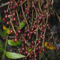 Pistácie čínská (rostlina: Pistacia chinensis) - semínka 4 ks