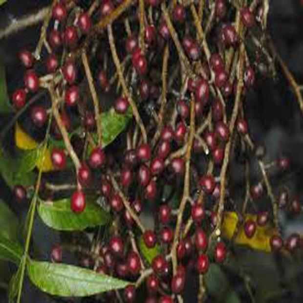 Pistácia čínska (rastlina: Pistacia chinensis) 4 semená
