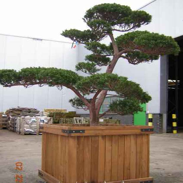 Tis japonský (rastlina: Taxus cuspidata) 4 semená