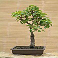 Hruška obyčajná (rastlina: Pyrus communis) 4 semená