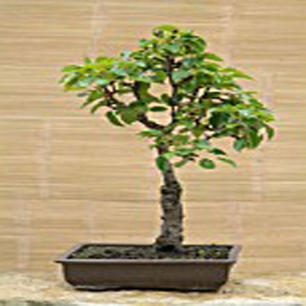 Hrušeň obecná (rostlina: pyrus communis) - semínka 4 ks
