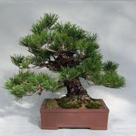 Borovice thunbergova (rostlina: Pinus thungergii) - semínka 4 ks