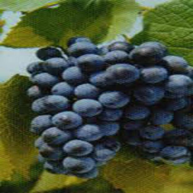 Réva amurská (rostlina: Vitis amurensis) - semínka 4 ks