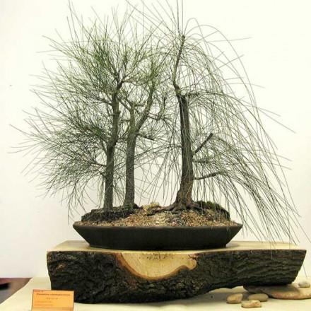 Přesličník obecný (rostlina: Casuarina cunninghamiana) - semínka 5 ks