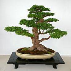 Jilm čínský (rostlina: Ulmus parvifolia) - semínka 5 ks