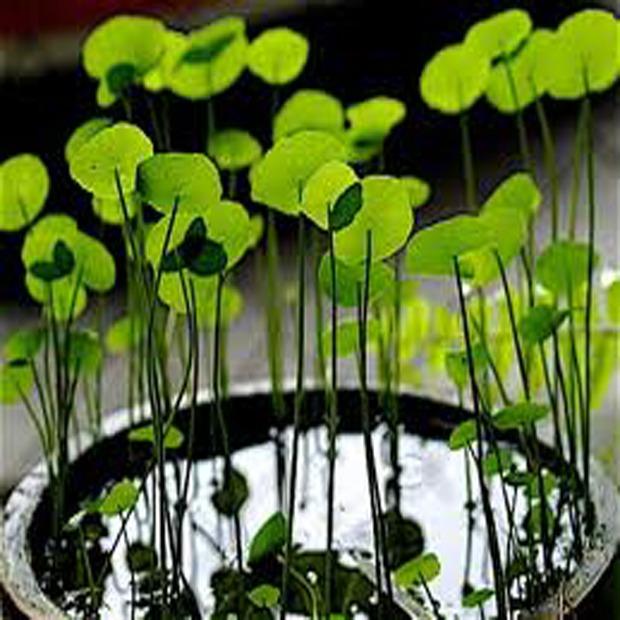 Gotu kola (rastlina: Gotu kola) 5 semien