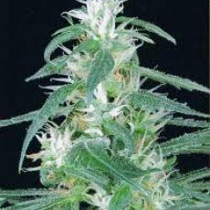 Arjan´s Haze n.2 - semínka 10 ks (Indoor), feminizovanésemínka Green House Seeds