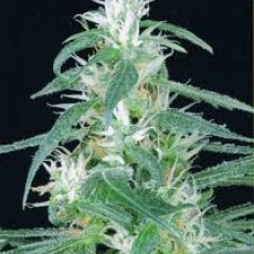 Arjan´s Haze n.1 - semínka 5 ks (Indoor), feminizovanáGreen House Seeds