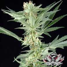 Big Bang - semínka 5 ks (Outdoor), feminizovaná semínka Green House Seeds