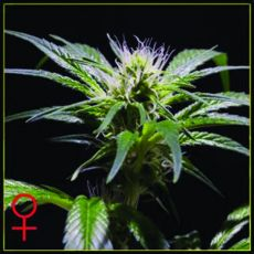 Damn Sour - semínka 5 ks feminizovaná semínka Green House Seeds