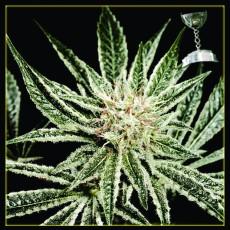 El Nino - semínka 10 ks (Indoor), feminizovaná semínka Green House Seeds