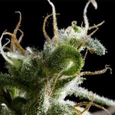 Hawaiian Snow - semínka 10 ks feminizovaná semínka Green House Seeds